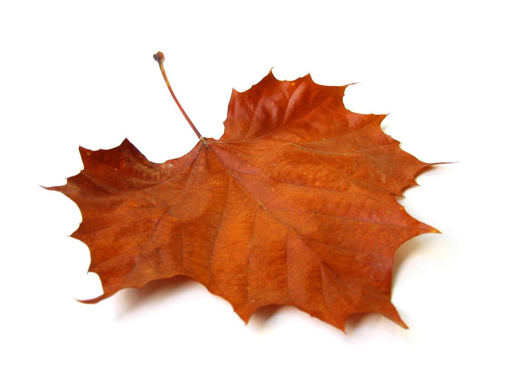برگ درخت چنار - پاییز --- عکس با کیفیت از برگ درخت چنار در فصل زیبای پاییز